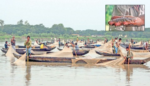 Mother carp fishes spawn eggs in Halda