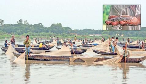 Mother carp fishes spawn eggs in Halda