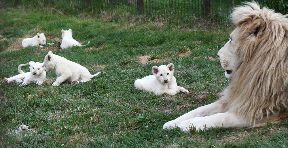 Quintuplets of white lions