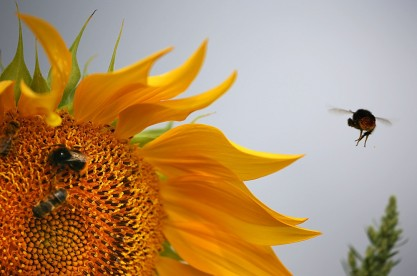 Bees collect pollen from a sunflower