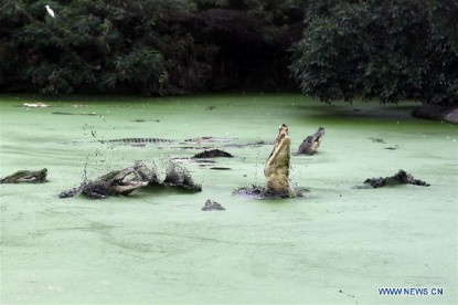 Crocodile breeding in Indonesia