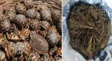 1 held with 499 turtles and 36 Kgs hemp in Magura