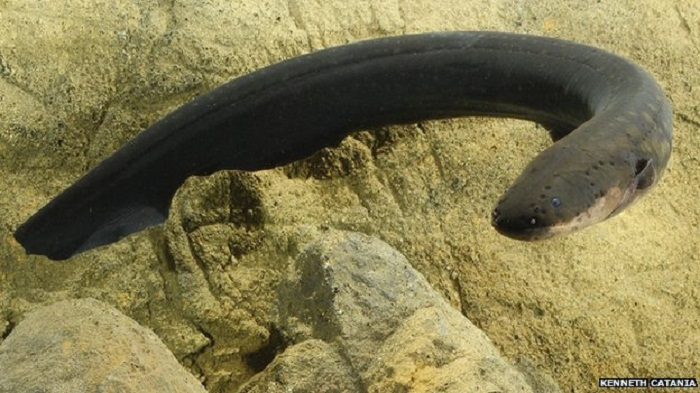 Electric eel remotely control their prey!