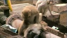 Monkey gives first aid to electrocuted friend