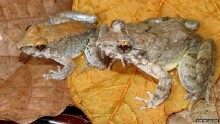 New fanged frog \'gives birth to tadpoles\'