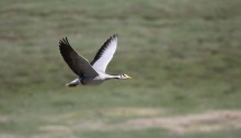 Bar-headed geese: Highest bird migration tracked- nature
