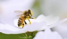 Commercial bees threaten wild bees, say researchers
