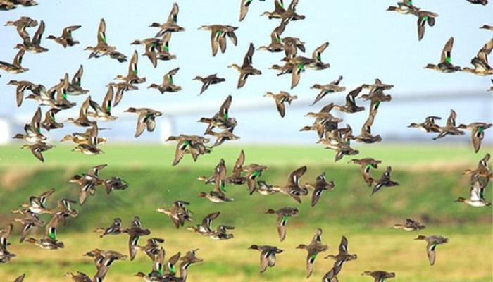 'Wild birds may spread flu virus'