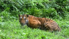 'Man-eating' tiger shot dead in India