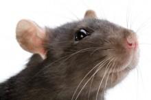 Plague blame game: Gerbils replace rats as prime suspects