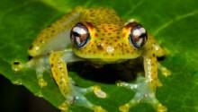 Killer frog disease: Chytrid fungus hits Madagascar