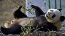 Wild giant panda population increases in China
