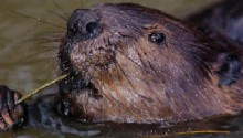 European beavers pair up for life and not cheat