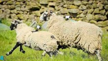 Scientists develop wi-fi internet for sheeps