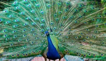 Feather plucking sounding death knell for peacocks