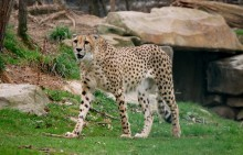 Toddler falls into zoo\'s cheetah exhibit