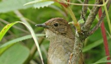 Elusive new bird discovered in China