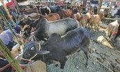 Cattle markets become vibrant in Chittagong