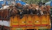 'Muggers' snatch 16 cattle in city