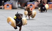 Dogs, dressed as hotdogs!