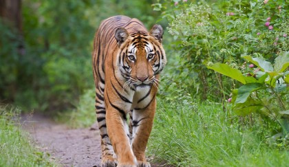 Bangladesh finds 106 tigers in Sundarbans, 76 in India