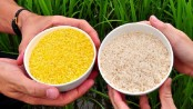 Golden rice risky: Indian scientist