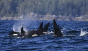 Canada whale-watching tragedy: Four dead as boat sinks