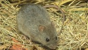 Rats destroy 12-15 percent crops annually: experts