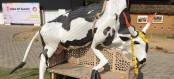 Indian Hindu activists take down floating cow exhibit