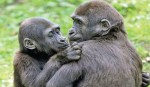 Most primates on brink of extinction