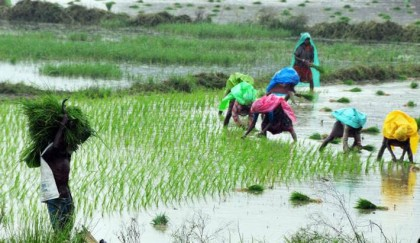 Expansion of flood-tolerant rice cultivation stressed
