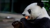 Famous Chinese panda to celebrate 35th birthday