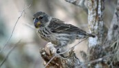Growing parasite threat to finches made famous by Darwin