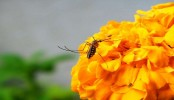 Dengue mosquitoes love to lay eggs in water near flowers