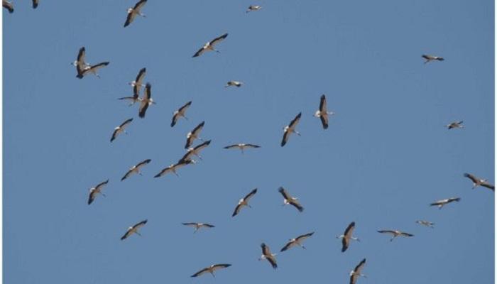Storks shun migration for junk food