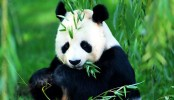 China to release 6th giant panda into wild in spring