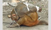 Thieving monkey bound and caged in Mumbai