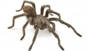 Tarantula named after music legend Johnny Cash