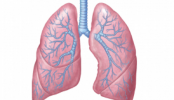 Lungs main target organs of MERS, says patient's autopsy
