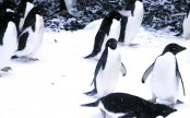 150,000 Antarctica penguins die after iceberg grounding: Study