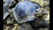 New species of turtle found in Papua New Guinea
