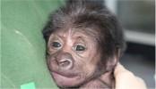Gorilla baby born at Bristol Zoo in 'rare' C-section