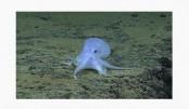 Scientist: Possible new Octopus species found near Hawaii