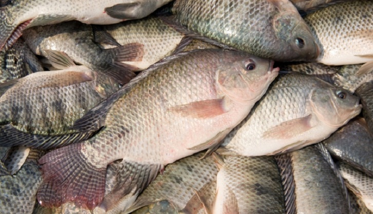 Should we eat tilapia fish 2016 03 17 daily for Tilapia not real fish