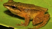 New golden frog species discovered in Colombia
