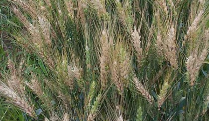 Infected wheat plants on 357 acres destroyed