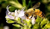 Starvation helps baby bees become stronger as adults