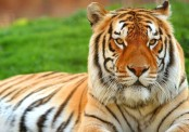 Tiger numbers show increase for first time in a century