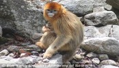 The monkeys that act as midwives