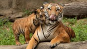 Tiger countries agree to preserve big-cat habitats